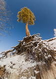 Pine tree with naked roots Stock Photos