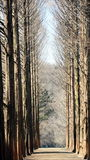 Pine tree on Nami island Stock Photos