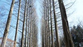 Pine tree on Nami island Stock Photography