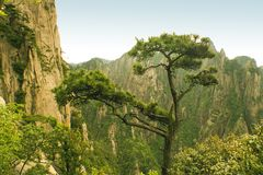 Pine tree, nature in china Stock Photography