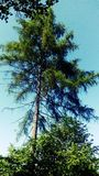 Pine tree. Nature flora poland royalty free stock images