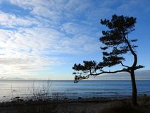 Pine tree near Baltic sea, Lithuania stock images