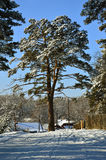 The pine tree near the house. On the background of blue sky. February. Royalty Free Stock Photo