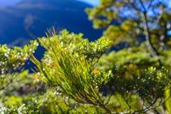 Pine tree needle closeup stock image