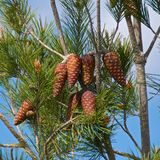 Pine tree with needle leaves and cones against blue sky in Israel Royalty Free Stock Images