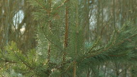 Pine tree needle leaves. Nature background. Green pine branches. Pine background stock video footage