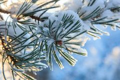 Pine tree needle Stock Photo