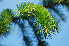 Pine-tree needles. Branch of pine-tree with needles close-up over blue clear sky Stock Photos