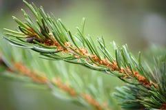 Pine tree needles. Close up of pine tree needles on a branch Stock Photo