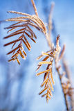 Pine tree needles with frost on then winter Stock Images