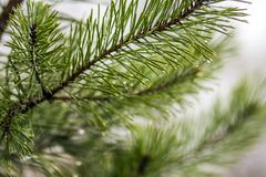 Pine tree needles with water drops close-up.  Stock Images