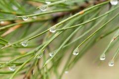 Pine Tree Needles With Rain Drops Stock Photo