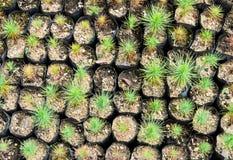 Pine tree nursery Stock Photo