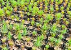 Pine tree nursery Royalty Free Stock Photos