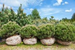 Pine on tree nursery farm Stock Photo