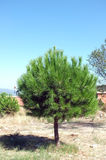 Pine tree in an open field Stock Photos