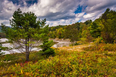 Pine tree at Otter Cove, in Acadia National Park, Maine. Royalty Free Stock Photo