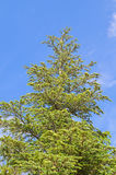 Pine tree over blue sky Stock Photos