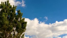 Pine tree over blue sky clouds. Pine tree calmly blowing in the wind over blue sky clouds background stock footage