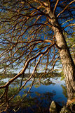 Pine tree over a lake Stock Photo