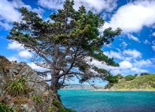 Pine-tree overlooking the sea, at a rocky coast Royalty Free Stock Image