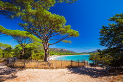 Pine tree on Palombaggia sandy beach on the south part of Corsica, France, Europe. royalty free stock photography