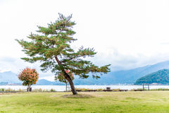 Pine tree in park Stock Photography