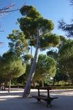 Pine tree in park Retiro, Madrid, Spain Royalty Free Stock Photo