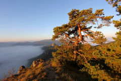Pine Tree on peak and fog Stock Images