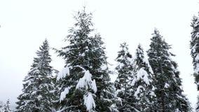 Pine tree peak in forest in winter. Beautiful landscape stock video footage