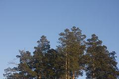 Pine tree photo. Photo of the pine trees Stock Photography
