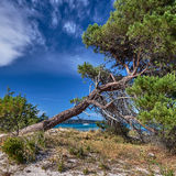 Pine tree at Pinarello beach Stock Photo