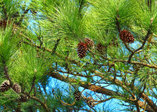 Pine tree and pine cone Stock Photos