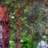 Pine tree and pine cone. Pine branches blurred background. stock photos