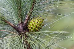 Pine tree with pine cone after  a rain shower Stock Images