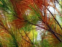 Pine, Tree, Pine Needles, Nature Stock Photo