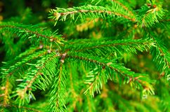 Pine tree. Twigs as a background royalty free stock photography