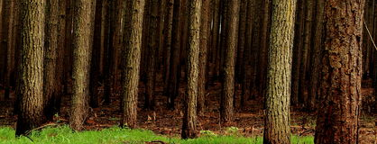Pine tree Plantation Royalty Free Stock Photography