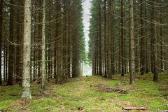 Pine Tree Plantation. Plantation of pine trees in rows royalty free stock photography