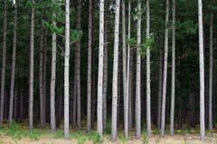 Pine Tree Plantation Stock Photography