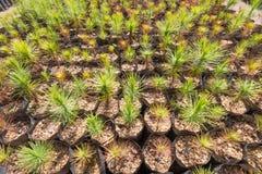 Pine tree plantation nursery pattern Stock Photos