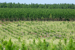Pine tree plantation. In South America Royalty Free Stock Images