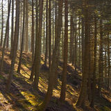Pine Tree Plantation - Wales - United Kingdom. A plantaion of coniferous pine trees near Lake Vyrnwy in Montgomeryshire in the Powys region of Wales Stock Photo