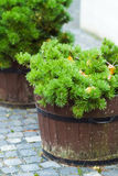 Pine tree in the pot Royalty Free Stock Image