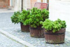 Pine tree in the pot Stock Photos