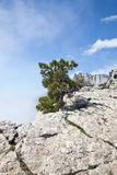Pine tree on a precipice Royalty Free Stock Photos
