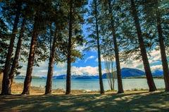 Pine tree in public park lake wanaka south land new zealand royalty free stock image