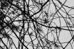 Pine tree rain drops Stock Photos