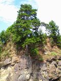 Pine tree and rain forest vegetation grown out of a cliff. Over the rocks Stock Photos
