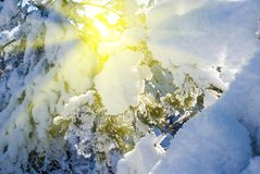 Pine tree in a rays of sun Royalty Free Stock Image